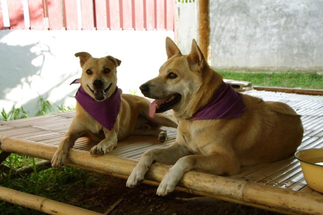 Koirakaverit ulkoilemassa. Koirat ulkoilivat 5 koiran ryhmissä ja aina oman ryhmän väriset huivit kaulassa.