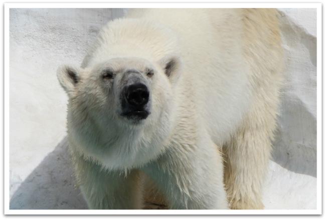 Ja nurkan takana Uenon eläintarhassa jääkarhuun.