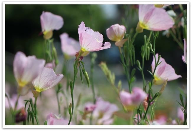 Ja vaikka ympräille katsoessa tuntuu, että japanilaisilla on lähes pakkomielle hallita kasvien kasvua (ainakin temppeleiden puutarhoissa), löytyyi myös Kiotosta kauniita, herkkiä ja villejä kukkia.