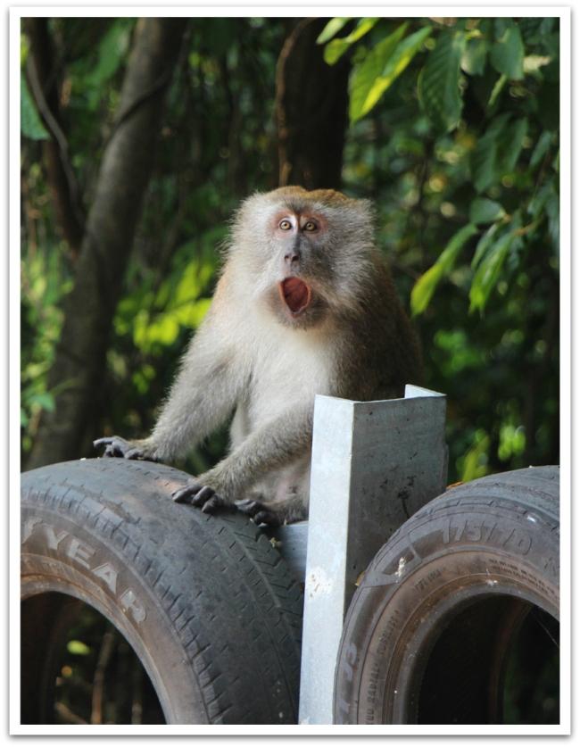 Patikkareissulla Tekekiin törmäsimme viidakon eläimiin: jättimäisiin monitoriliskoihin, oraviin, jättioraviin ja suloisiin apinoihin.