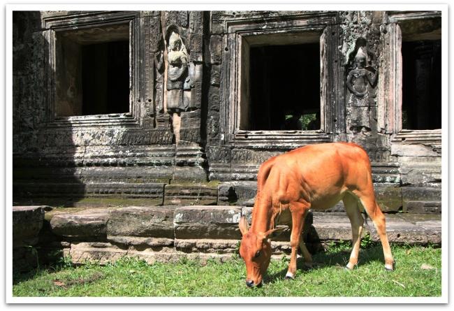 Banteay Kdei:n temppelissä viidakoitumista vastaan taisteli tämä vasikka. Meinais syödä ruohon lisäksi myös kauppiaiden turistirihkamat.