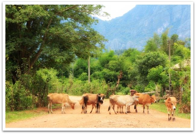 Nämä lehmät taas tukkivat tien Vang Viengissä Laoksessa.