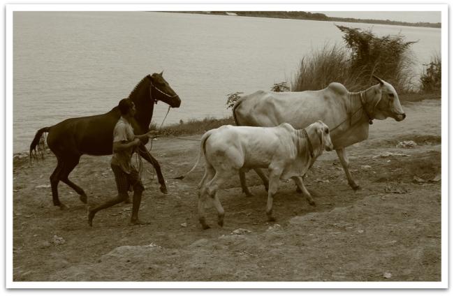 Phnom Penhissä pääsi koko eläinkatras pesulle Mekongin virtoihin.