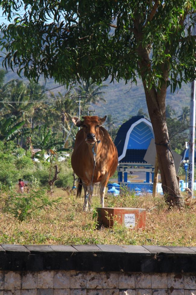 Tämä lehmä oli kivunnut liikenneympyrän päälle laiduntamaan.