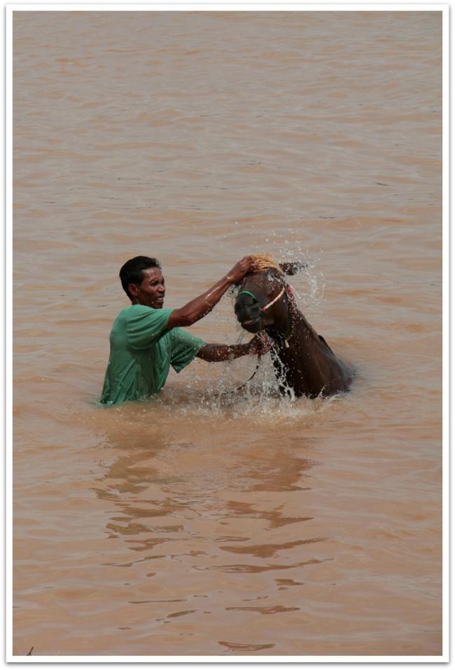Lauttaa odotellessa seurasimme eläinten pesutuokiota. Paikalliset veivät arvokkaat eläimensä pari kertaa päivässä pesulle Mekong-jokeen.  Kylpy ja sen jälkeinen pyörähdys hiekkamaassa pitää inhottavimmat öttiäiset poissa eläinten iholta.