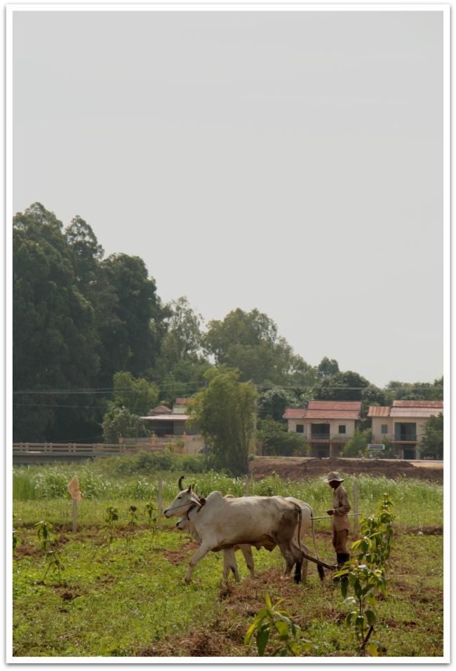 Kambodzalainen traktori. Mekongin virran saarilla suurin osa maasta on viljelyksille pyhitettyä. Kyntöpuuhat oli vauhdissa useammallakin pellolla. Traktoreita ei näkynyt, vaan työn tekivät lehmät ja hevoset.