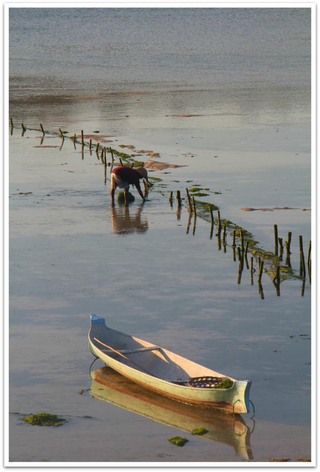 Saaren ympärillä matalikoissa oli leväpeltoja. Sato kerättiin talteen käsin.