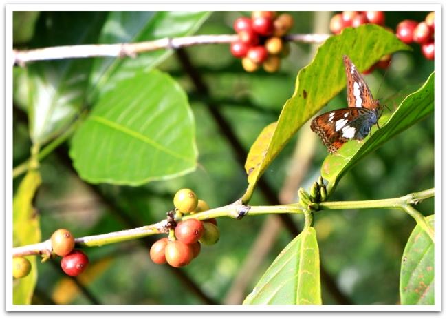 Perhosia ja kahvipapuja