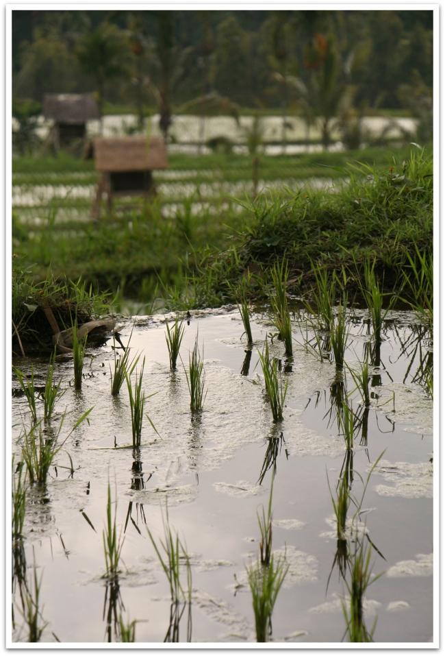 Ja Mundukin toisella puolella riisipelloilla.