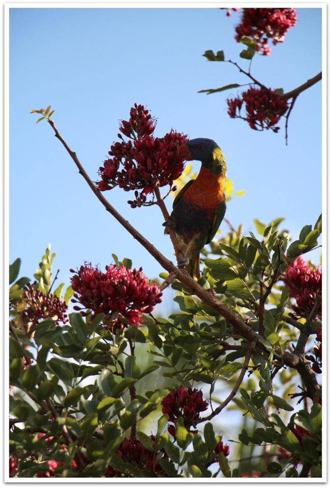 Australian luonto on ihmeellinen. Papukaijoja voi bongailla kaupungin puista.