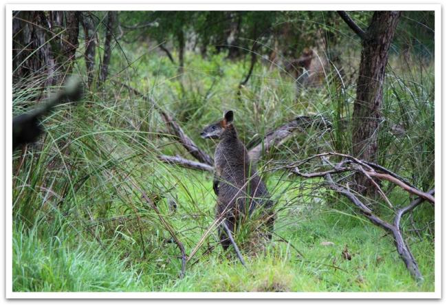Koala Conservation Centerin alueella asustaa myös useampi kenguru.