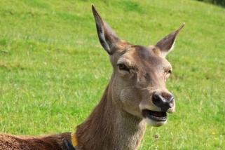 Uusi-Seelanti on suurin peurankasvattajamaa.