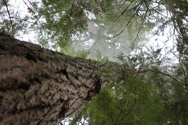Joulupäivänä teimme kävelylenkin Elk Falls:lle, vaikka taivaalta tuli saavikaupalla vettä. Polun varrella oli suuria puita (yritettiin halata, mutta kädet ylsivät vain neljäsosa rungon ympäri)