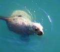 Santa Cruzin pitkän laiturin alla asustelee merileijonayhdyskunta.